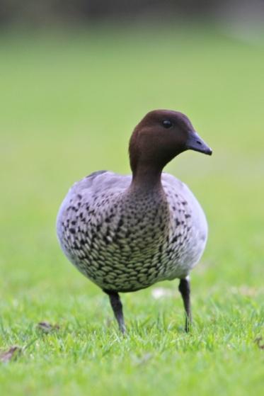 Australian Wood Duck (Chenonetta jubata) - Adelaide Hills, Australia