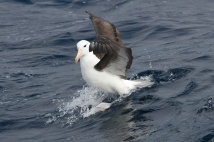 Black Browed Albatross - Tasmania, Australia