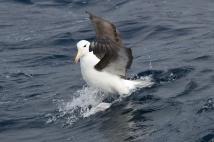 Black Browed Albatross - Tasmania, Australia