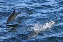 Common Dolphin (Delphinus delphis) - Tasmania, Australia
