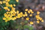 Deciduous Beech (Nothofagus gunnii) - Tasmania, Australia