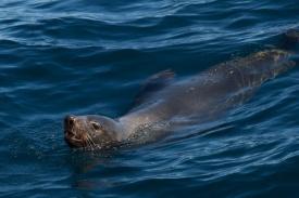 Australian Fur Seal - Tasmania, Australia