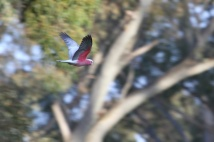 Galah - Adelaide Hills, Australia