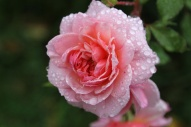 Rain covered rose - Tasmania, Australia