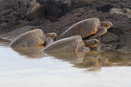 Sea turtles - Hawai'i, USA
