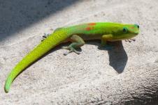 An orange spotted gecko - Hawai'i, USA