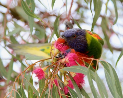 Rainbow Lorikeet (Trichoglossus haematodus subspecies moluccanus) - South Australia, Australia