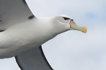 Shy Albatross - Tasmania, Australia