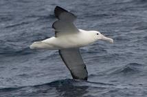 Southern Royal Albatross - Tasmania, Australia