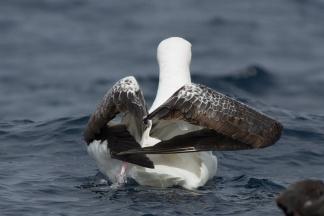 Wandering Albatross - Tasmania, Australia