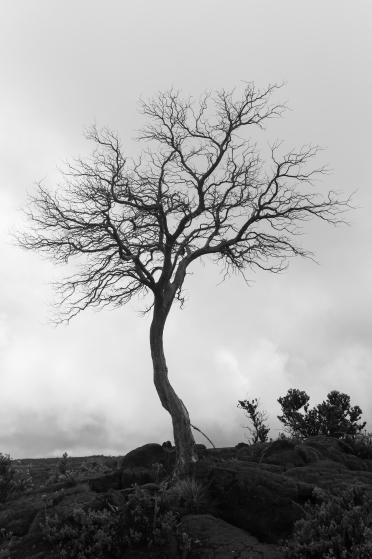Tree on Mauna Loa, Hawai'i, USA.