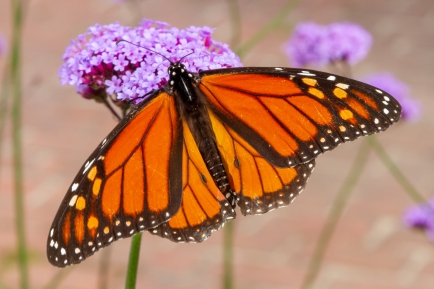 Monarch Butterfly - Maine, USA